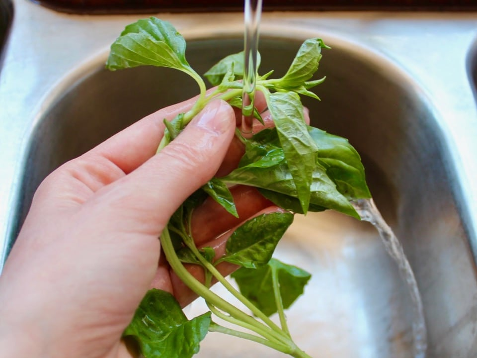 Close up shot of hand holding a bunch of fresh basil and rinsing it under the kitchen sink faucet.