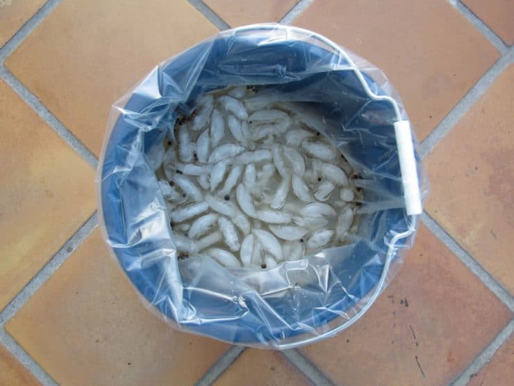 Ice and brining solution in a bag in a large bucket.