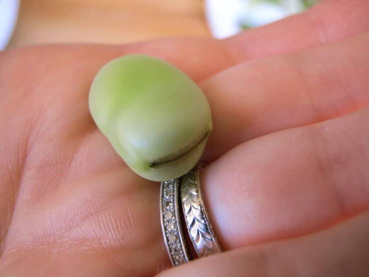 Shelled fava bean.