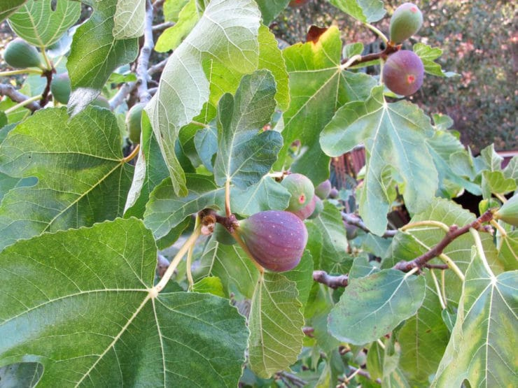 Fig Tree in My Front Yard - I have a big, beautiful fig tree in my front yard that is teeming with fresh fruit right now. I need your fig recipe suggestions!