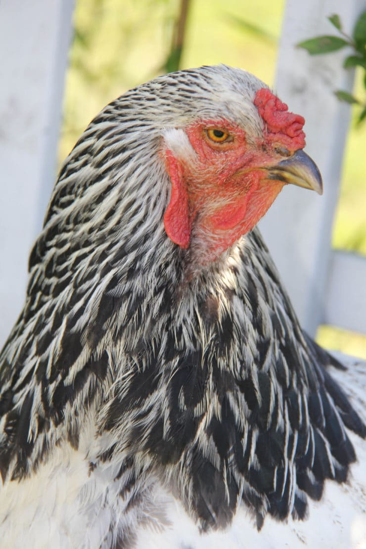 Kitchen Garden Hens The Old Fashioned Way The Basics Of Poultry Keeping