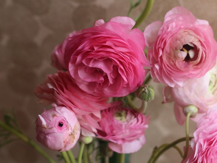 Pink ranunculus blooms.