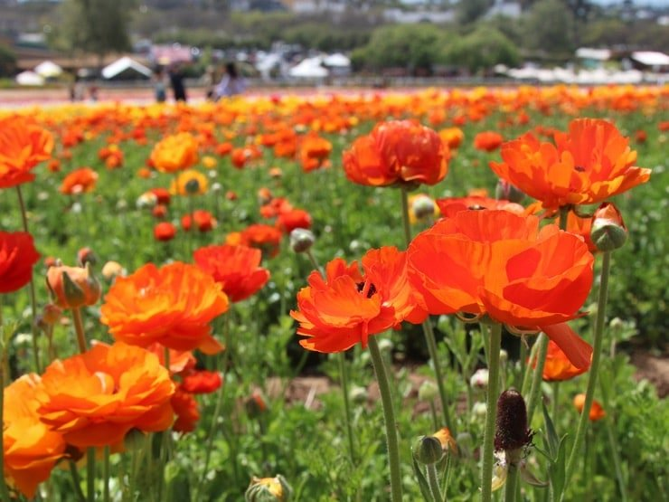 A field of orange ranunculus blooms.