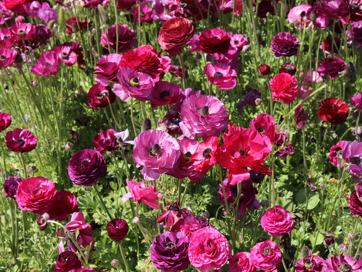 Purple-pink ranunculus growing in the field.