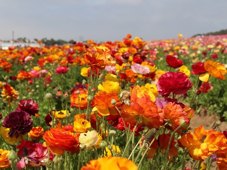 A large field filled with colorful ranunculus blooms.